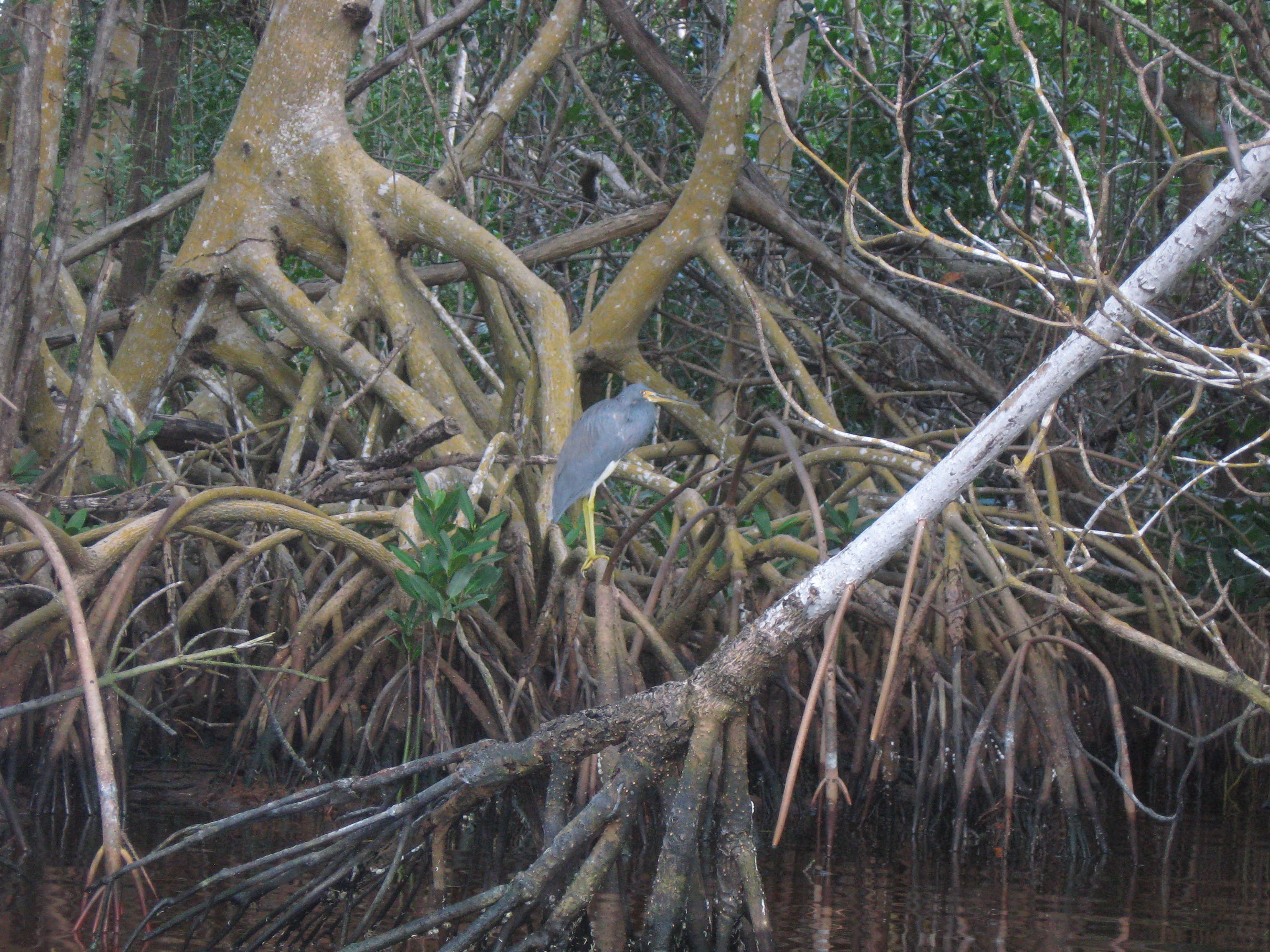 Tricolored Heron in Mangrove